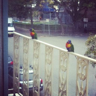 Rainbow lorikeets on our balcony today!