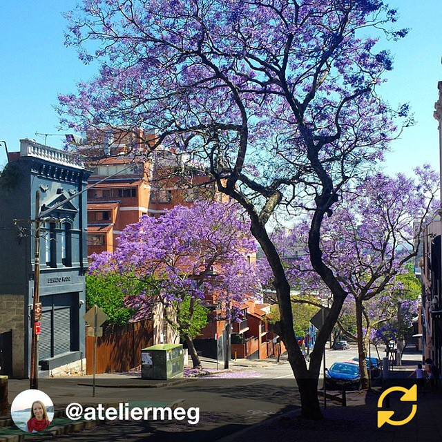 RG @ateliermeg: It's that time of the year again, the Jacaranda blossom is so pretty ♡ // My favourite time of year!