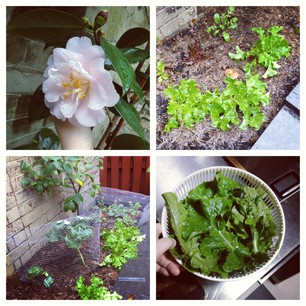 Garden update! Our first pink camellia and a bowlful of lettuce.