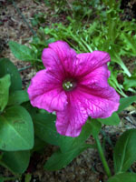 The first petunia!