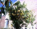 Big lemon tree